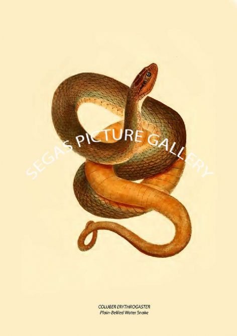 Fine art print of the COLUBER TAXISPILOTUS Brown Water Snake or Little Scorpion by John Edwards Holbrook (1838)